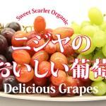 Grapes! / 葡萄、新入荷!