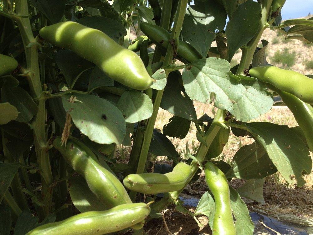 Nijiya farm nijiya market natural organic for Fava arreda sora