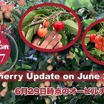 Auvil Cherry Update on June 29th / 6月29日時点のオービルチェリー情報